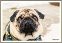 Dog breed pug. Portrait of a pet Inramad poster