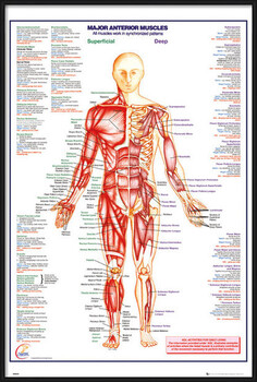 Inramad poster Human Body - Major Anterior Muscles